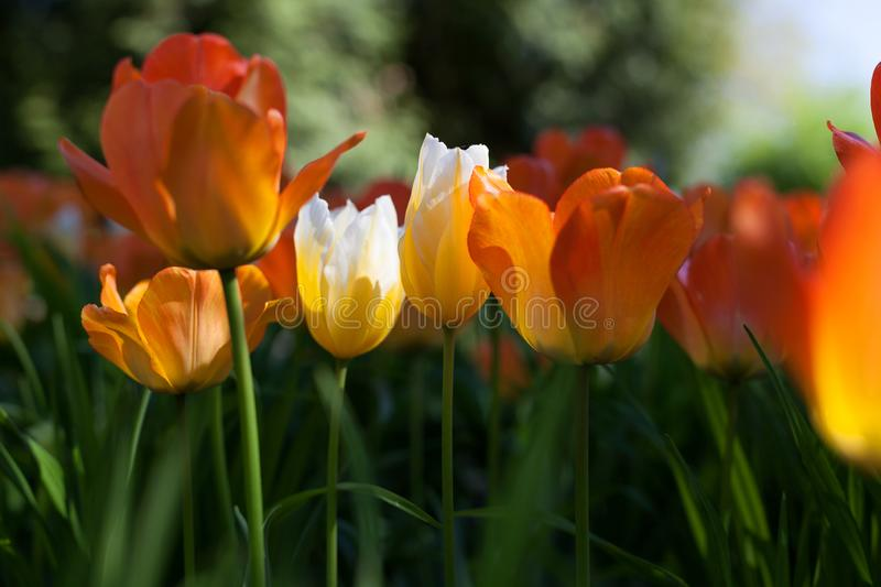 Spring tulips in the park stock image