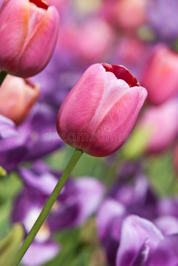 Spring tulips in pastels royalty free stock photos