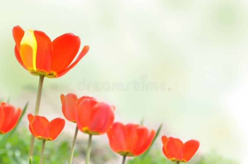 Spring tulips on white stock photos