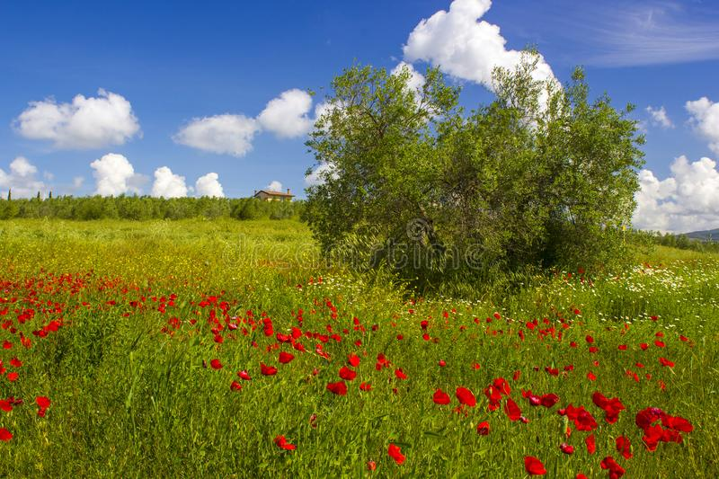 Spring in Tuscany, landscape with poppies royalty free stock photo