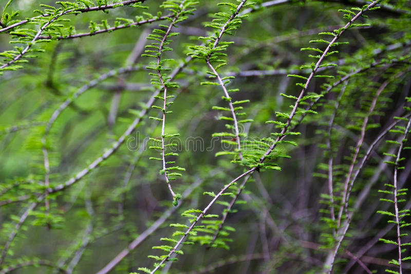 Spring twigs with green leaves stock images
