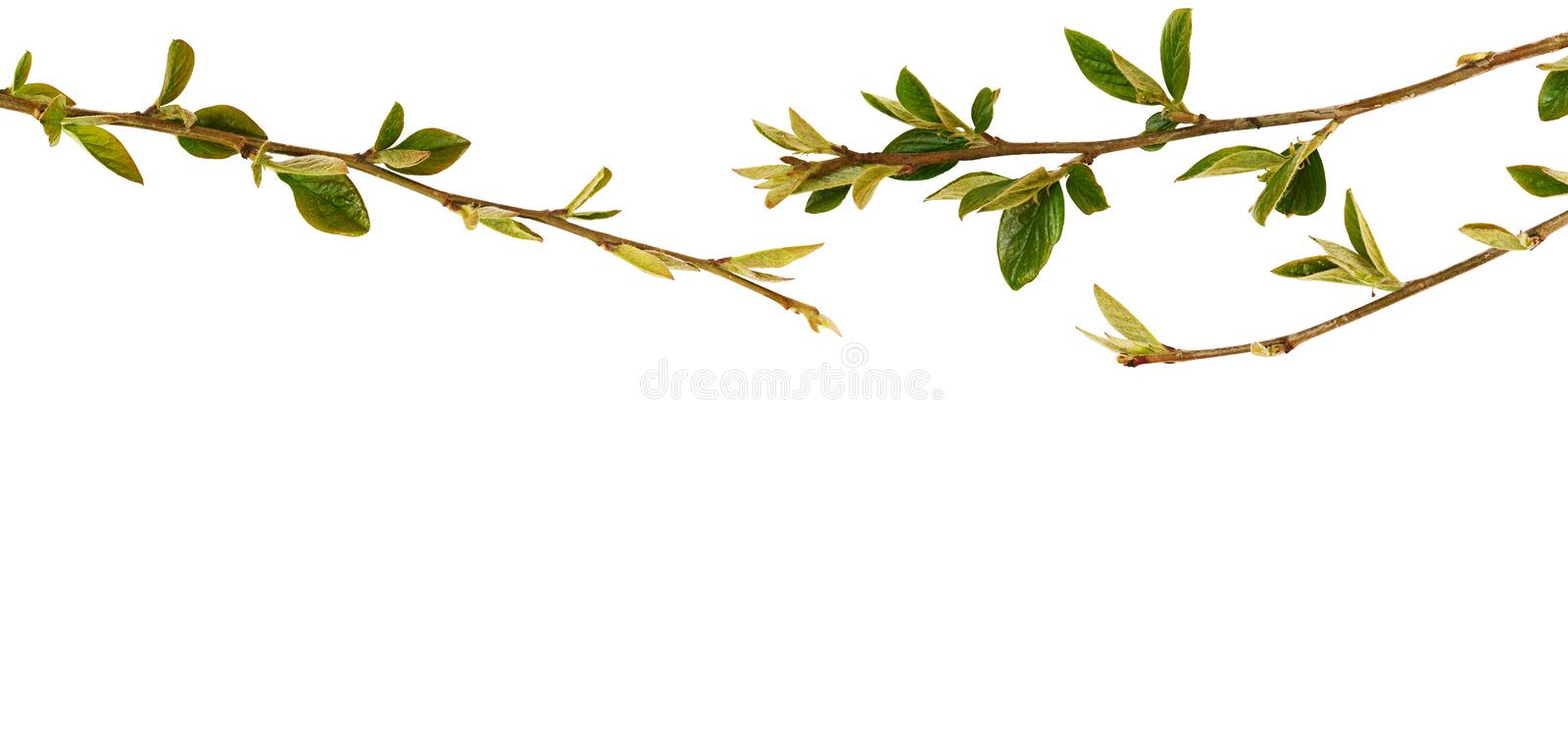 Spring twigs with small green leaves in top border stock photo