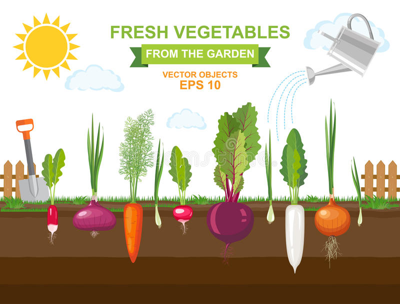 Spring vegetable garden with different kind root veggies and watering can royalty free illustration