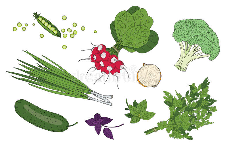 Vegetables and herbs fresh spring green organic vector collection royalty free illustration