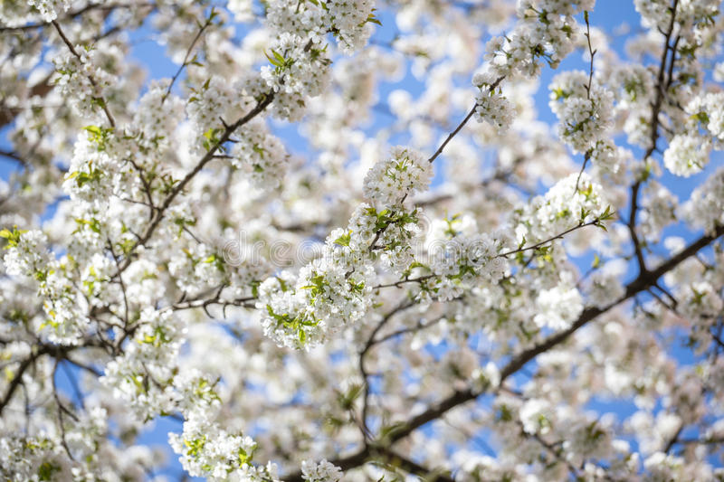 Spring vibes. Flowers of cherrytree in the midtime of spring royalty free stock photography