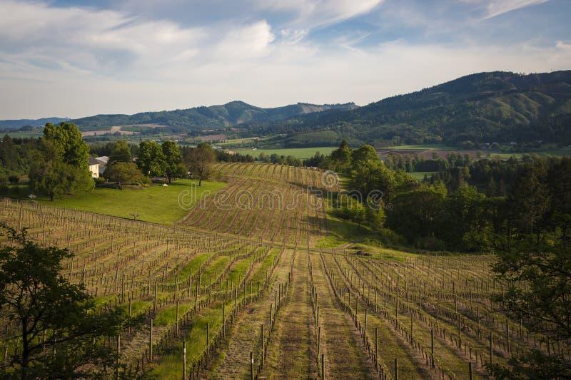 Spring vineyards, Willamette Valley, Oregon. Spring vineyard leaves in fall, Willamette Valley, Oregon royalty free stock photos