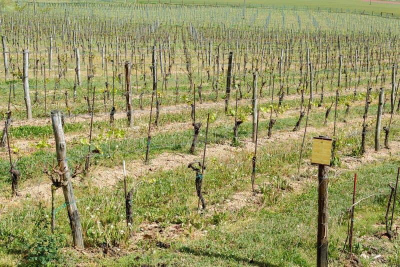 Download Spring Vineyard stock photo. Image of barossa, vines - 29747806