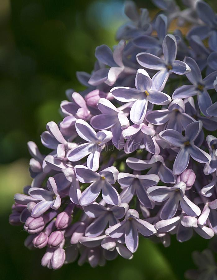Spring violet lilac royalty free stock photo