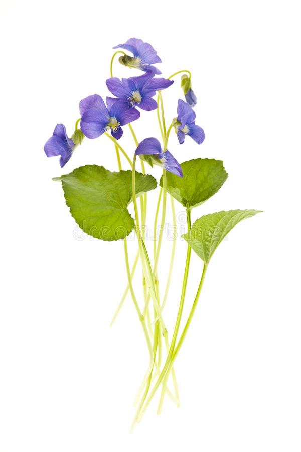 Spring violets on white stock photography