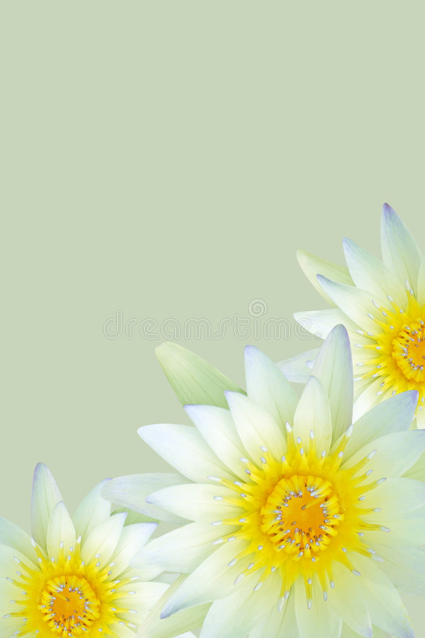 Spring water lilies. Isolated on green royalty free stock photography