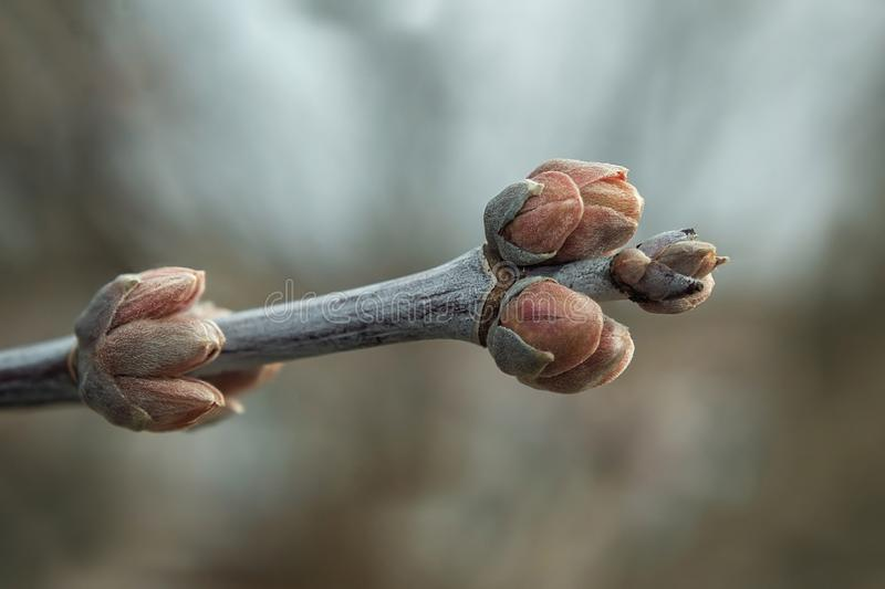Spring weather. Buds of a tree stock photo