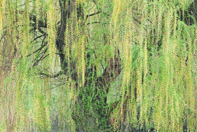Spring Weeping Willow stock photos