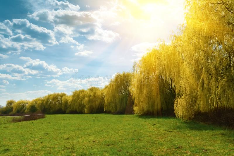 Spring weeping willow trees with sunlight rays in park. Spring background. Copy space.  royalty free stock photo