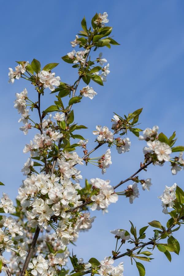 Spring white blossom against blue sky. cherry blossom flower full bloom in blue sky spring season. vertical photo.  royalty free stock images