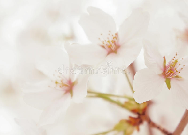 Spring white blossom flower close up stock photo image of bloom download spring white blossom flower close up stock photo image of bloom growing mightylinksfo