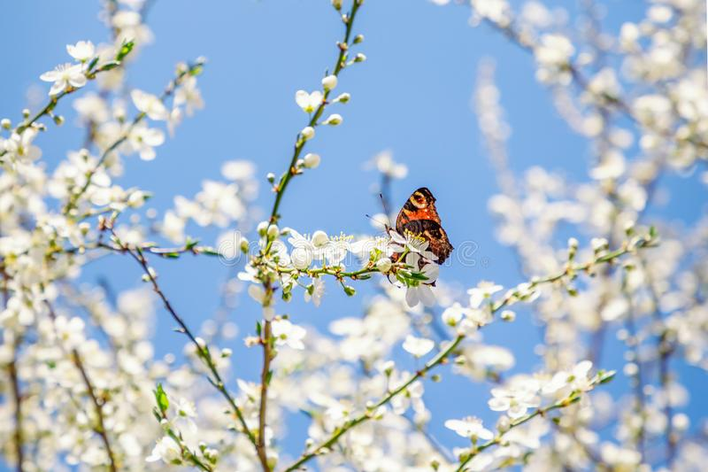 Spring white blossom and orange butterfly on the blue sky background. Spring white blossom and bright orange butterfly on the blue sky background royalty free stock photo