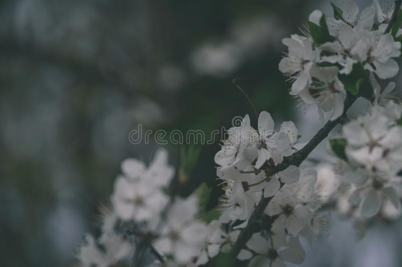 Spring white colored leaves in bright sunlight - vintage old loo. Spring white colored leaves in bright sunlight. apple tree - vintage old look royalty free stock photography