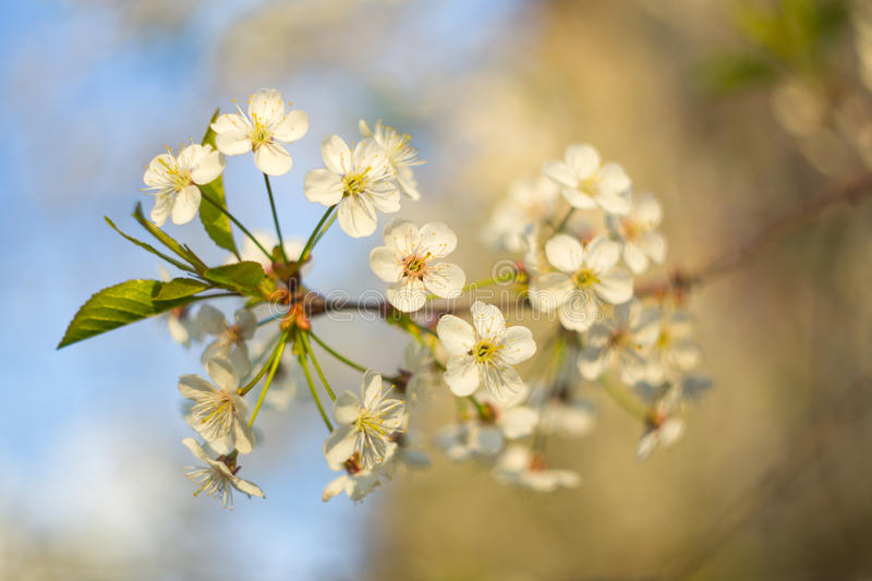 Spring white flowers on blossom cherry branches with blurred background. Macro photo stock image