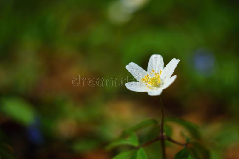 Spring white flowers in the grass Anemone (Isopyrum thalictroides). Spring white flowers in the grass Anemone Isopyrum thalictroides royalty free stock photography
