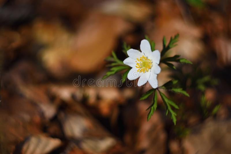 Spring white flowers in the grass Anemone (Isopyrum thalictroides) royalty free stock photos