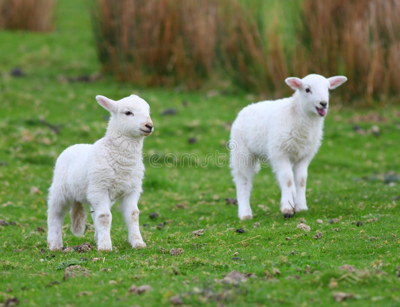 Spring white lambs. Two white Spring Welsh lambs in a field stock photo