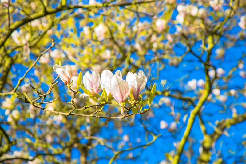 Spring white magnolia flowers. Blooming garden stock images