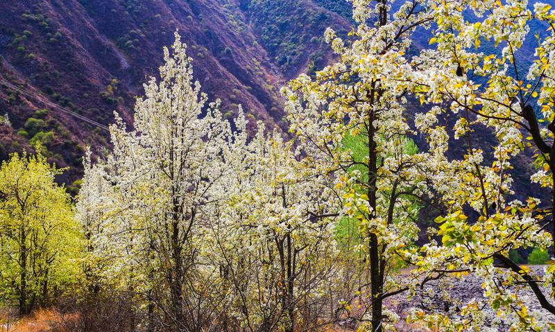 Pear blossoms in the valley. In spring , white pear blossoms are in full bloom in the valley , SiChuan province , China royalty free stock images