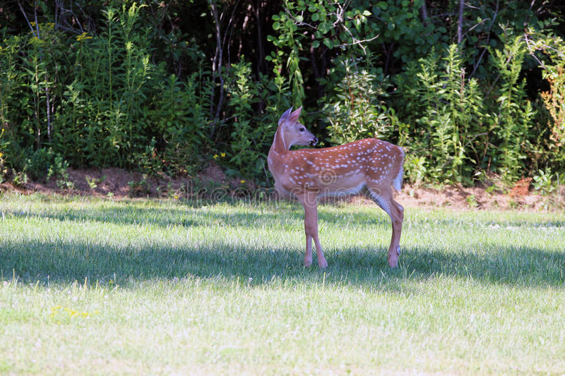 Spring white tail deer fawn stock photography