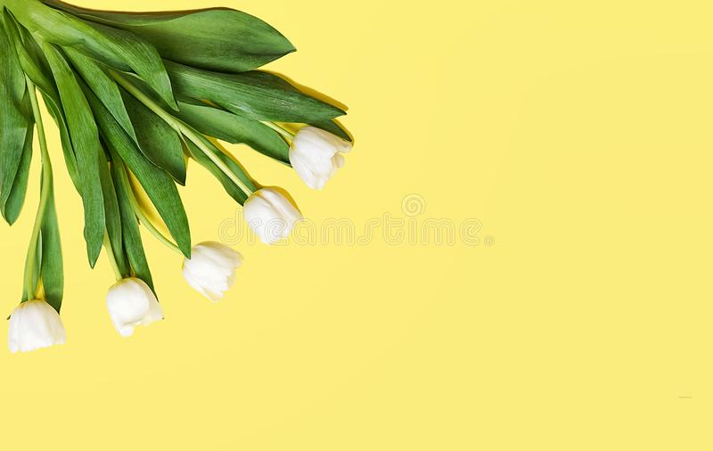 Spring white tulips flowers on yellow background. Waiting for spring. Happy Easter card. Flat lay, top view, copy space. Concept royalty free stock photos