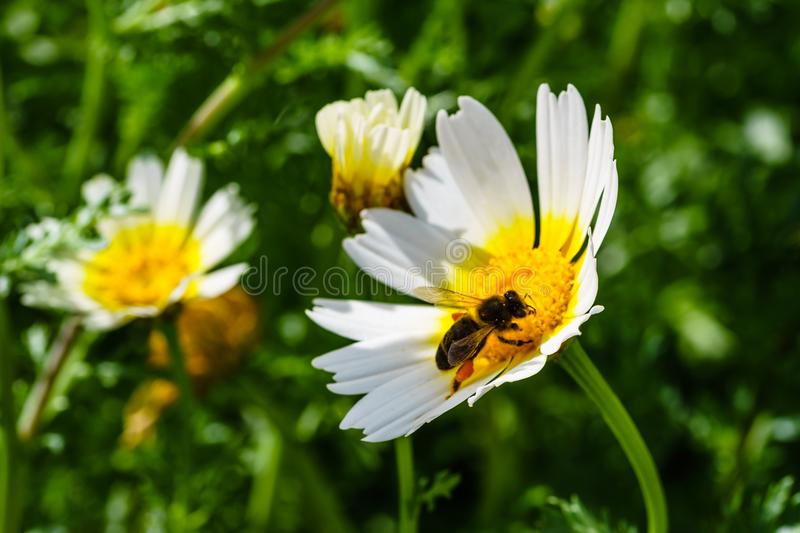 Spring white and yellow flower and bee. royalty free stock photos