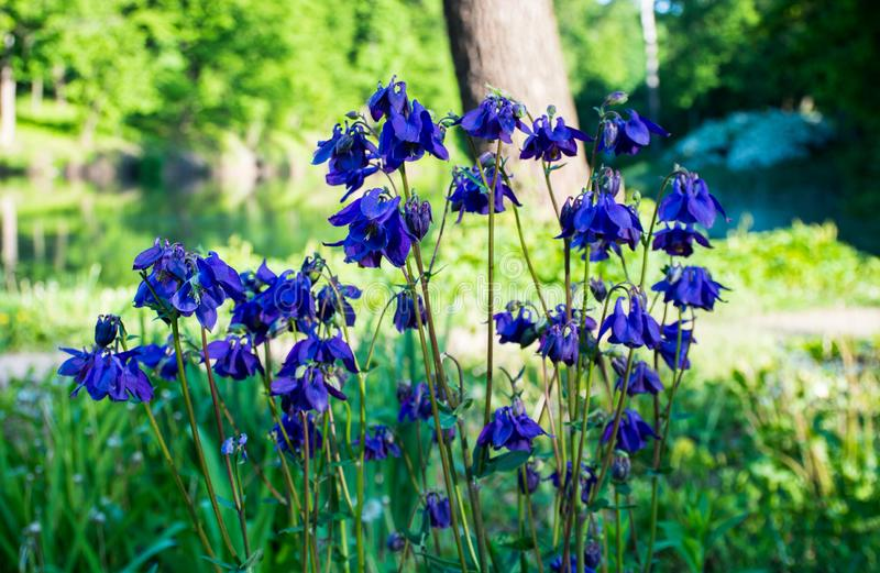 Spring wild flowers of blue and purple growing in an outdoor park stock images