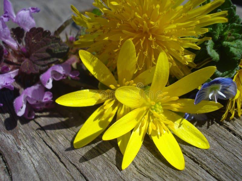 Spring wild flowers on wooden batten. Lesser celandine, dandelion and purple deadnettle on wooden board in the sunlight royalty free stock images