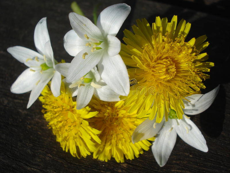 Spring wild flowers on wooden board. Star-of-Bethlehem and dandelions on a wooden batten royalty free stock photo