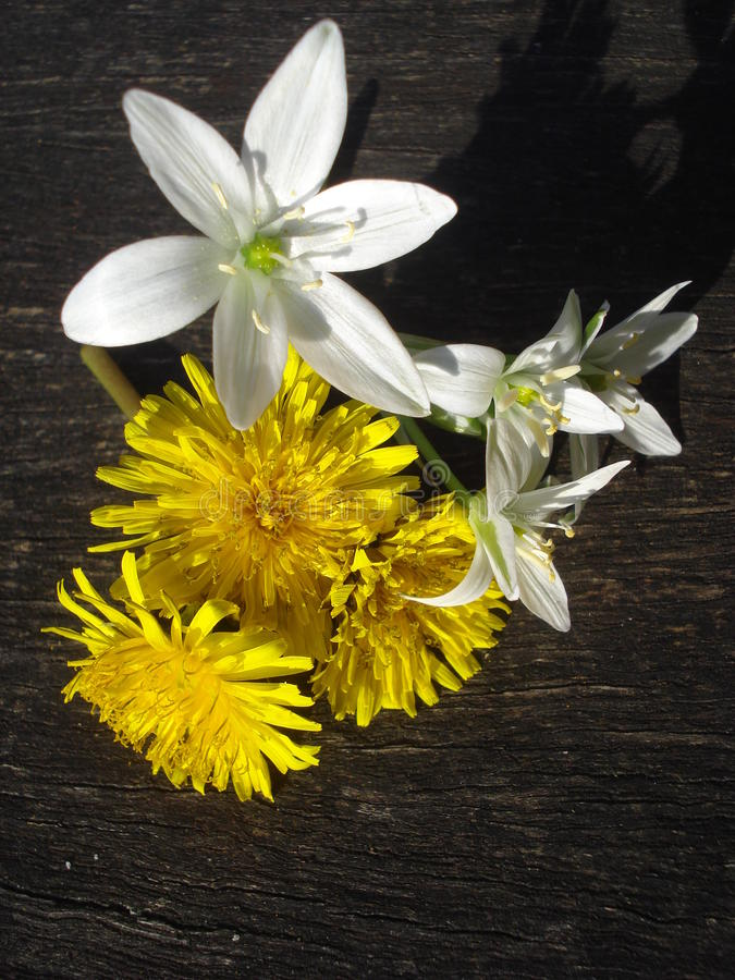 Spring wild flowers on wooden board. Star-of-Bethlehem and dandelions on a wooden batten royalty free stock photography