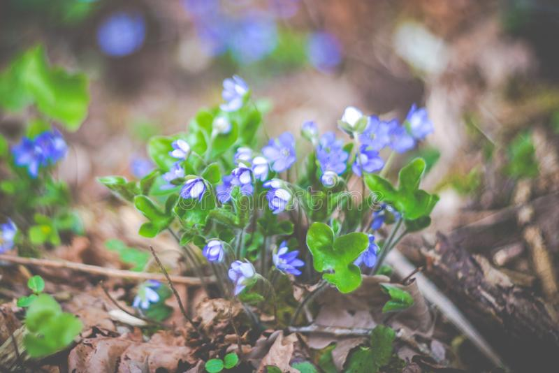 Spring wild forest blooming violets royalty free stock photo