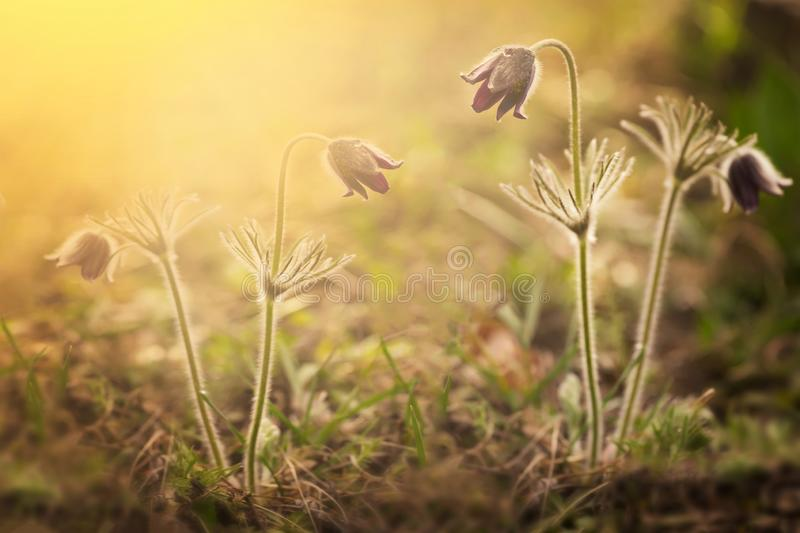 Spring wild meadow clover flowers, violet and golden colors, macro, soft focus. Flowers in the sun glow with beautiful bokeh, copy royalty free stock image