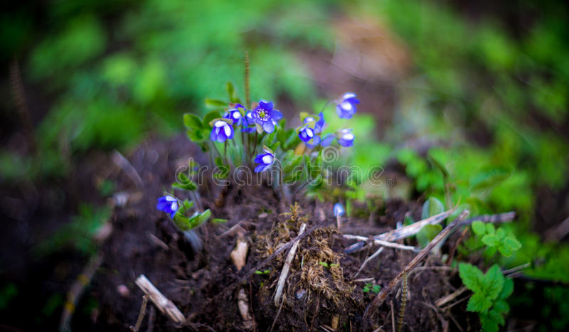 Spring wild violets royalty free stock images