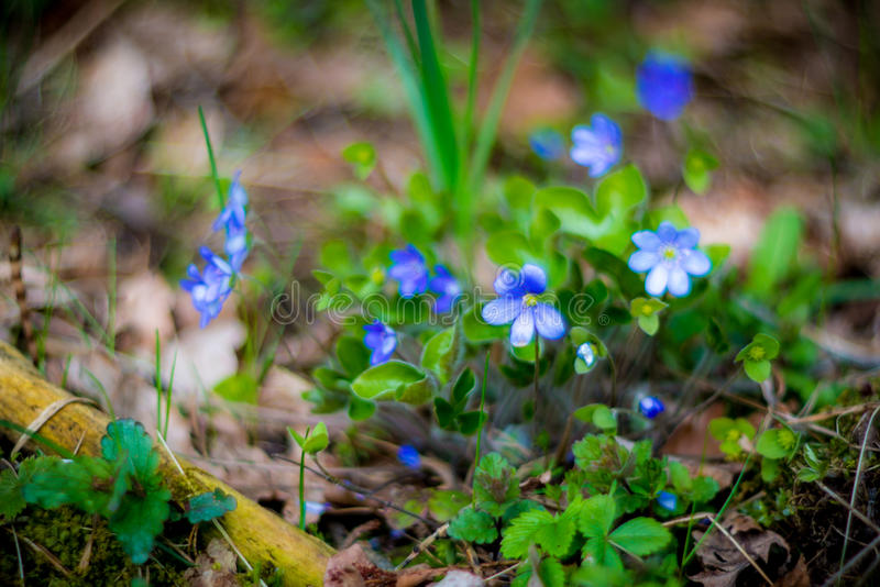 Spring wild violets stock photography
