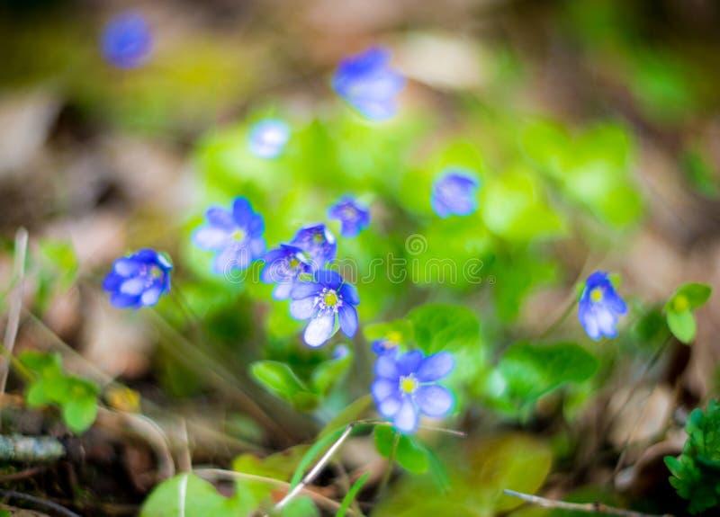 Spring wild violets stock image