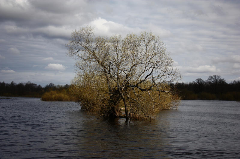 Spring. A willow among flood. royalty free stock image