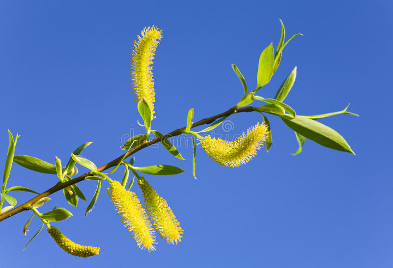 Spring willow twigon blue sky background stock photo