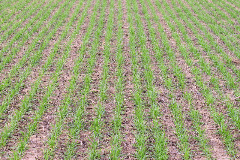 Spring winter wheat field. Shoots of wheat in a field on the ground. Cultivation of cereals royalty free stock image