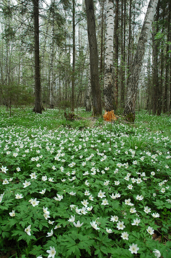 The spring wood. Russia, Moscow area, May 2005. Nikon D70 stock photos