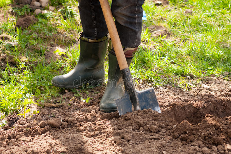 Male Farmer In Rubber Boots With Shovel And Potatoes In Ground I stock photography