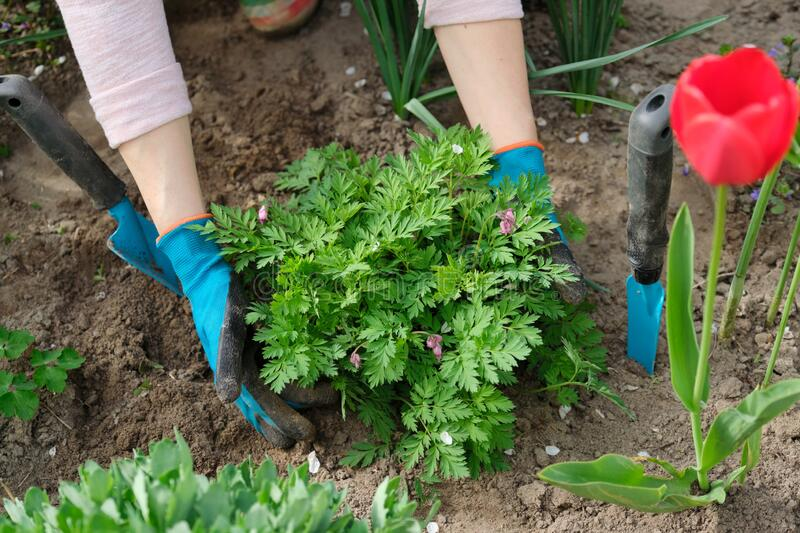 Spring work in garden, woman hands in gloves with garden tools royalty free stock photo