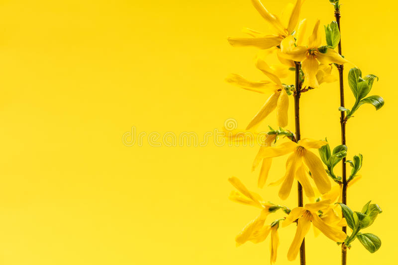 Download Spring Yellow Background With Forsythia Flowers Stock Image - Image of flowering, vivid: 35983583