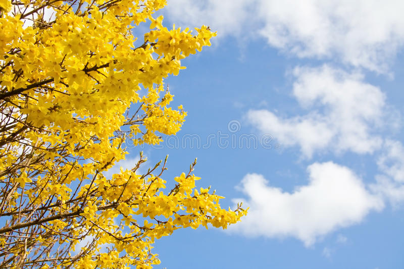Download Spring yellow blossom stock photo. Image of tender, delicate - 14025618