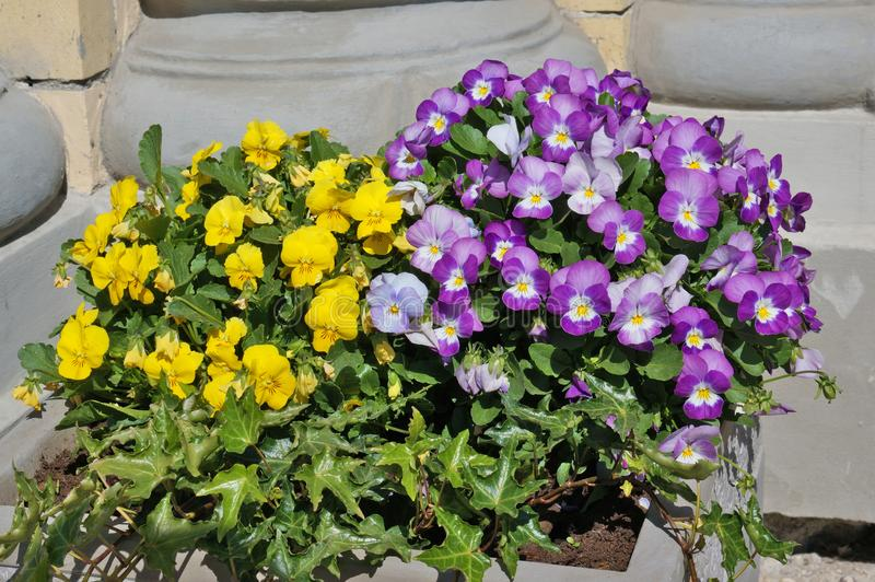 Spring  yellow and blue Pansies bloom in a street concrete flowerpot. Sunny April day outdoor shot royalty free stock photo