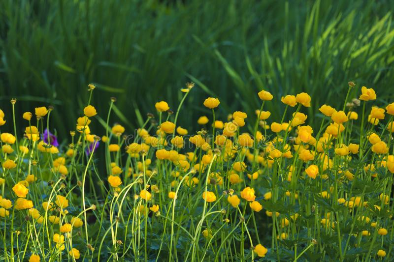 Yellow butter balls bloom at botanical garden royalty free stock photos
