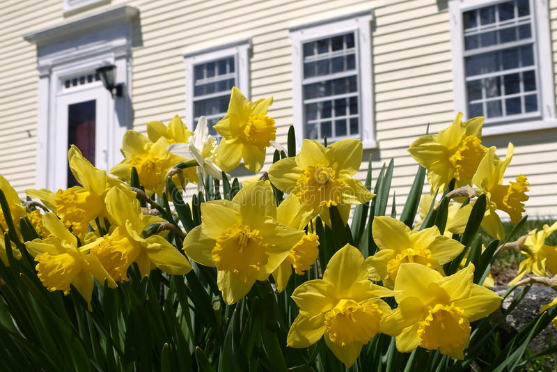 Spring: yellow daffodils in historic garden. Sunlit yellow daffodils in garden of American colonial house stock photography